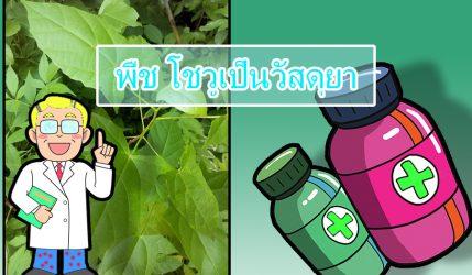 พืช โชวูเป็นวัสดุยา